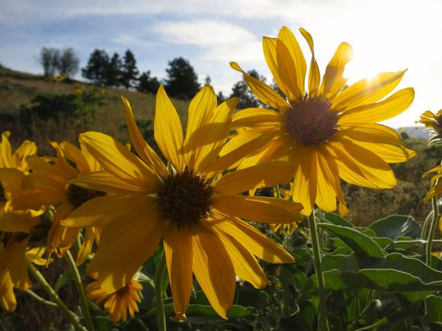 Arrowroot Balsamroot