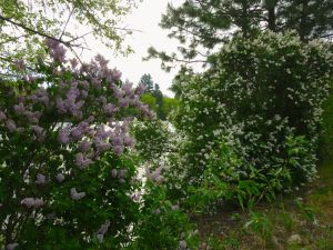 Smell the lilacs
